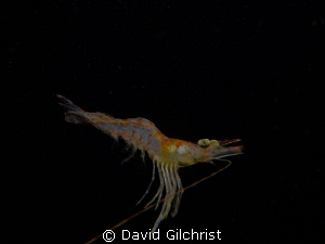 Shrimp sp. Swimming in water column during night dive in ... by David Gilchrist